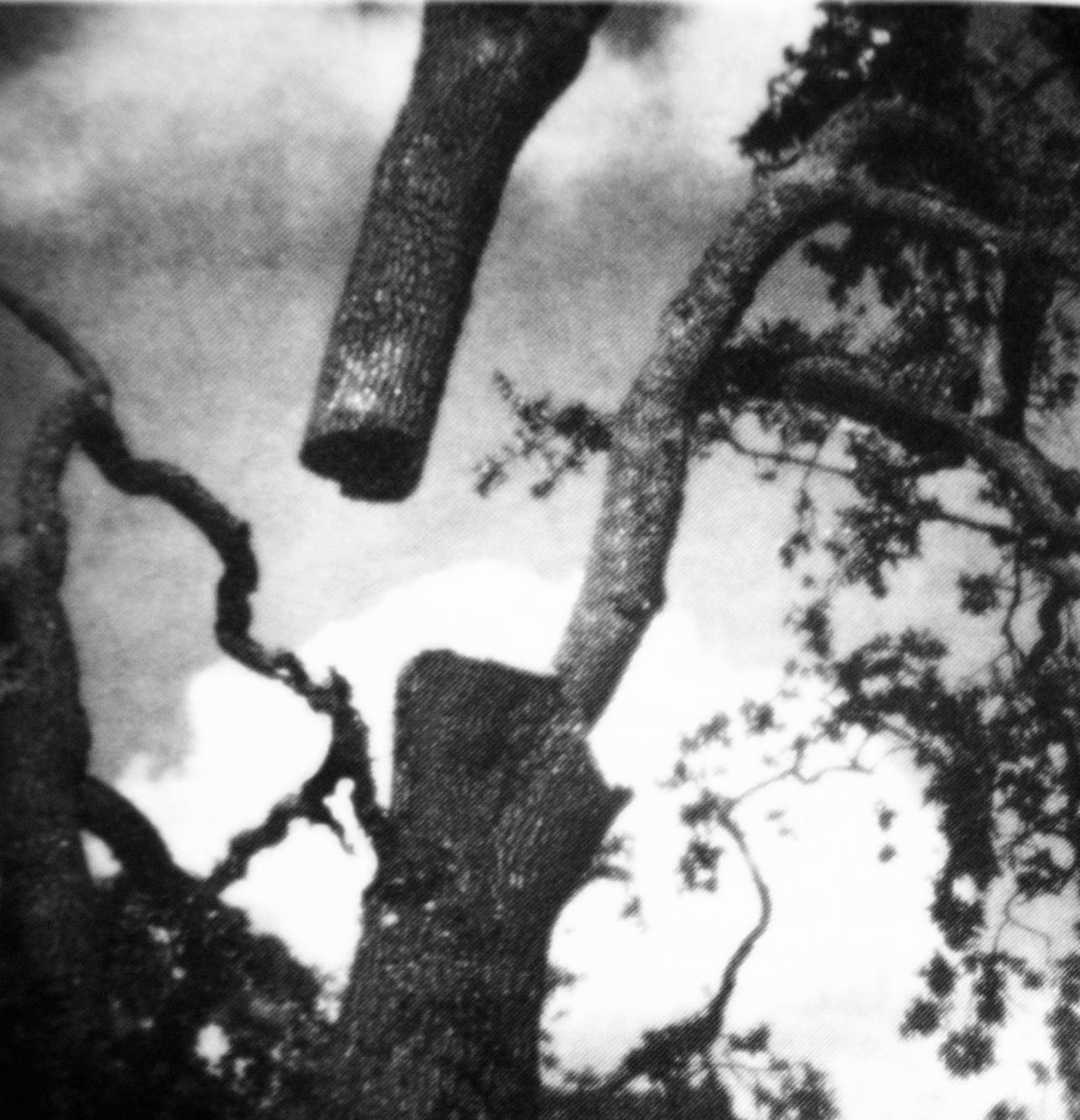 """Open Tree #1"" 2014-2018, stampa ai sali d'argento,  37,5 x 38,5 cm"