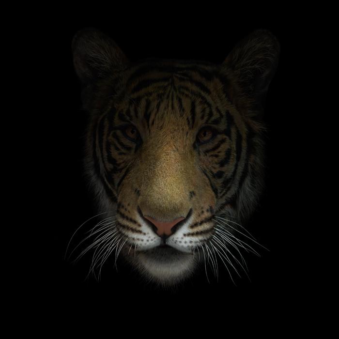 Muso Tigre