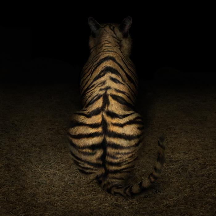 Tigre Dietro